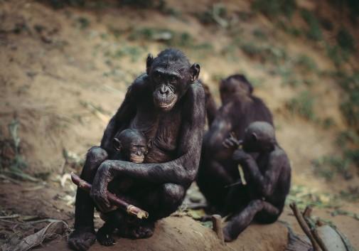 gorille-famille-kinshasa-afrique-nature